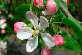 Flores de Bach y Dermatitis Seborreica