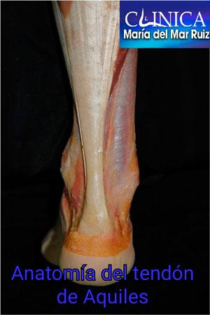 Anatomía del tendón de aquiles