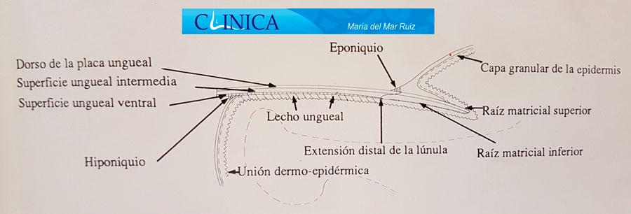 Componentes de la uña Uña-encarnada-u-Onicocriptosis