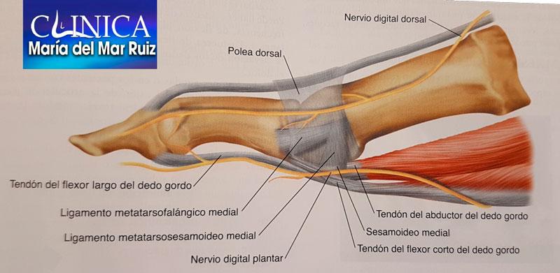 Anatomía muscular y sesamoideos
